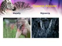 Тварини Африки Марабу Мурахоїд