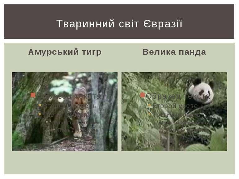 Амурський тигр Велика панда Тваринний світ Євразії