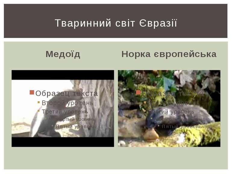 Медоїд Норка європейська Тваринний світ Євразії