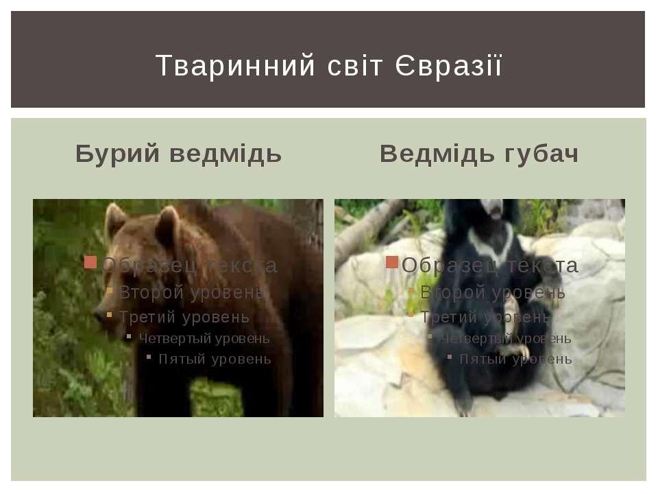 Бурий ведмідь Ведмідь губач Тваринний світ Євразії