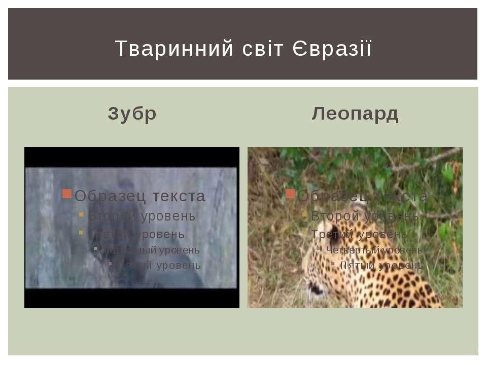 Зубр Леопард Тваринний світ Євразії