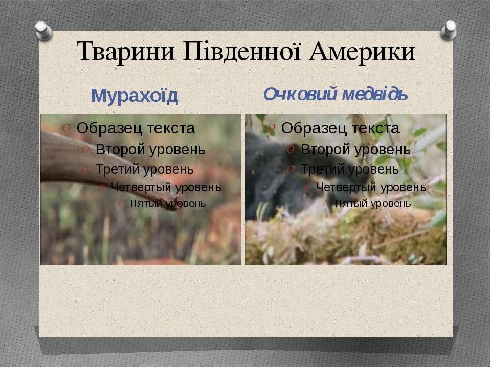Тварини Південної Америки Мурахоїд Очковий медвідь