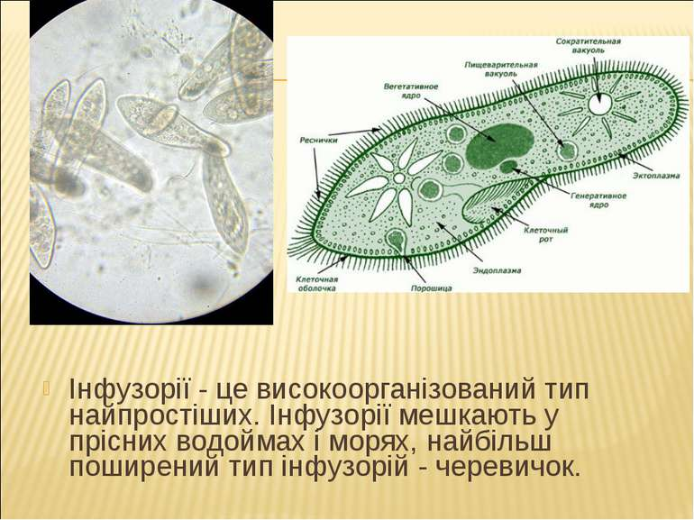 Інфузорії - це високоорганізований тип найпростіших. Інфузорії мешкають у прі...