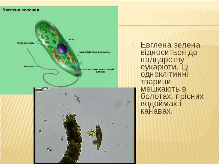Евглена зелена відноситься до надцарству еукаріоти. Ці одноклітинні тварини м...