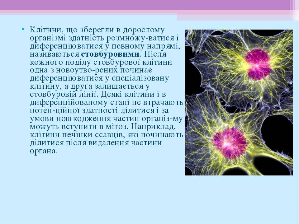 Клітини, що зберегли в дорослому організмі здатність розмножу ватися і дифере...