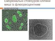 Ембріональні стовбурові клітини миші із флюоресцентним маркером