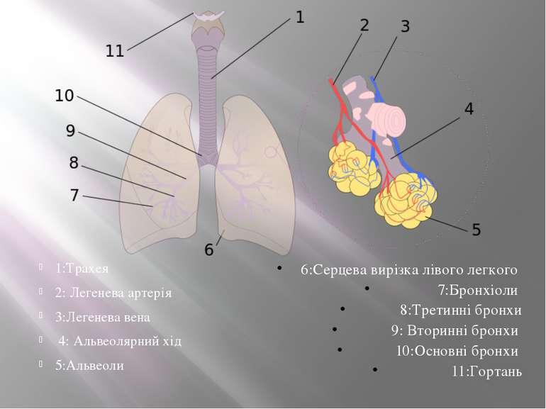 1:Трахея 2: Легенева артерія 3:Легенева вена 4: Альвеолярний хід 5:Альвеоли 6...