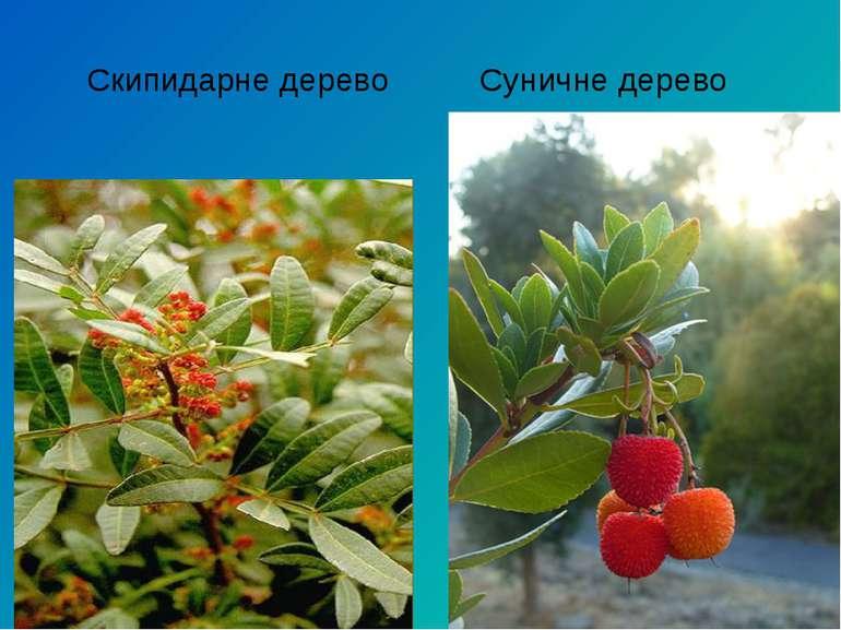 Скипидарне дерево Суничне дерево