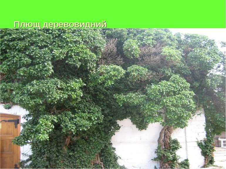 Плющ деревовидний