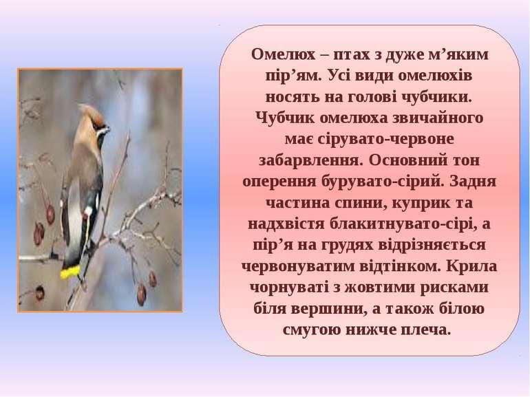 Омелюх – птах з дуже м'яким пір'ям. Усі види омелюхів носять на голові чубчик...