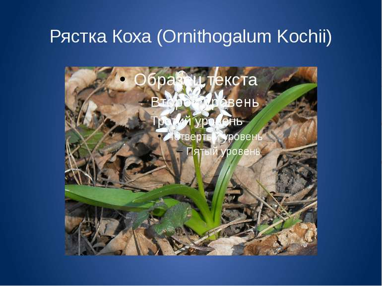 Рястка Коха (Ornithogalum Kochii)