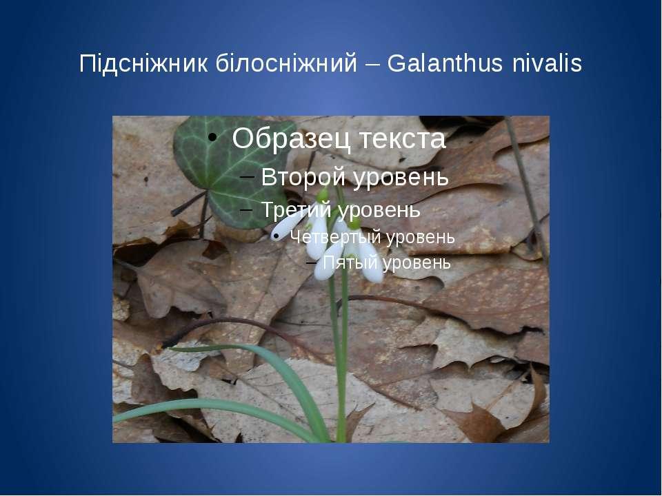 Підсніжник білосніжний – Galanthus nivalis