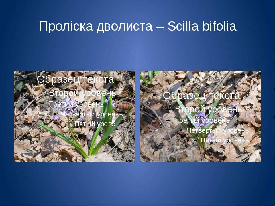 Проліска дволиста – Scilla bifolia