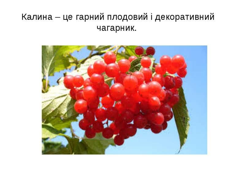 Калина – це гарний плодовий і декоративний чагарник.