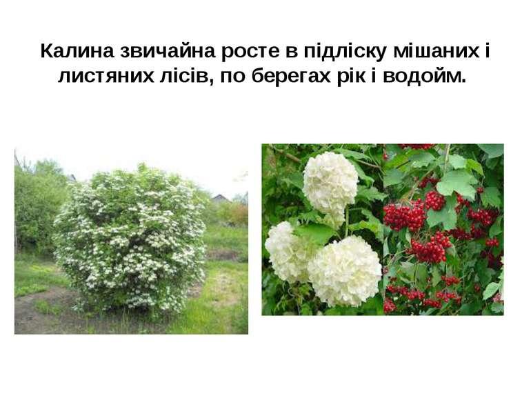 Калина звичайна росте в підліску мішаних і листяних лісів, по берегах рік і в...