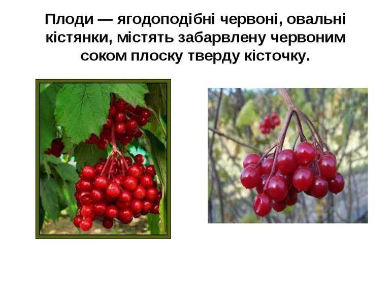 Плоди — ягодоподібні червоні, овальні кістянки, містять забарвлену червоним с...