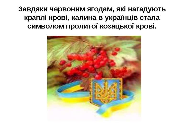 Завдяки червоним ягодам, які нагадують краплі крові, калина в українців стала...