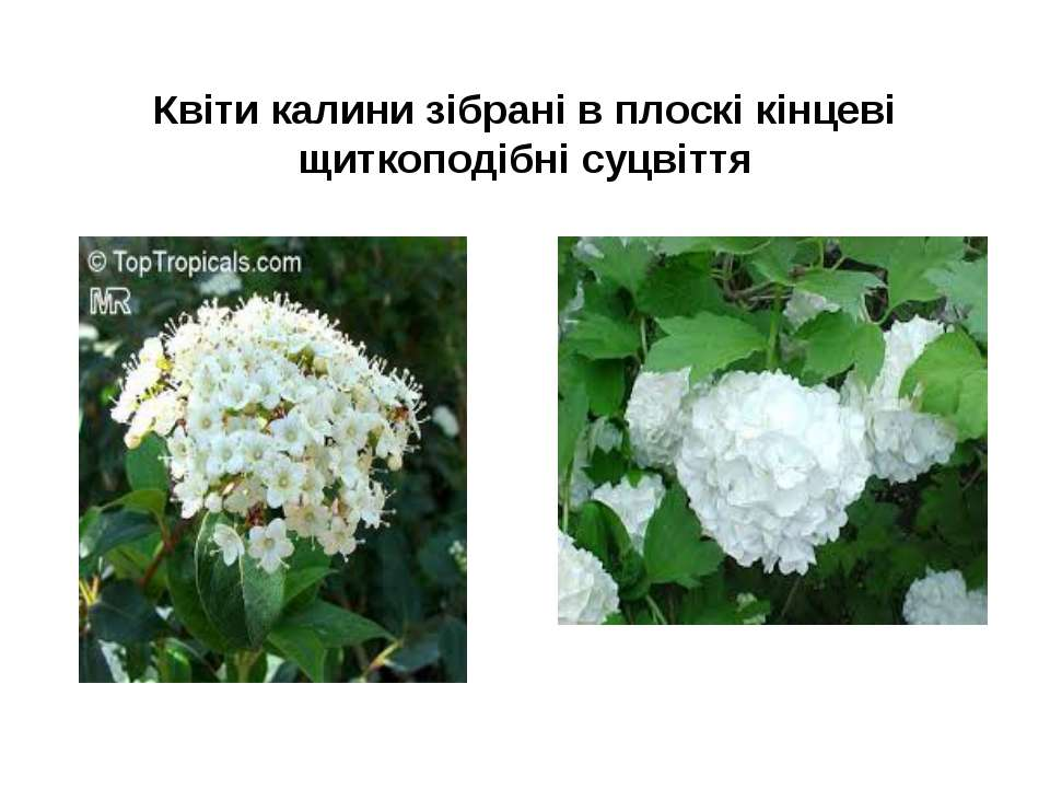 Квіти калини зібрані в плоскі кінцеві щиткоподібні суцвіття