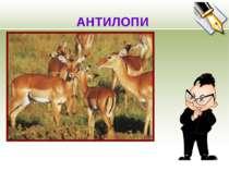 АНТИЛОПИ Антилопи в зоопарку Хочуть сонця і весни. Їм в гарячі дні не жарко, ...