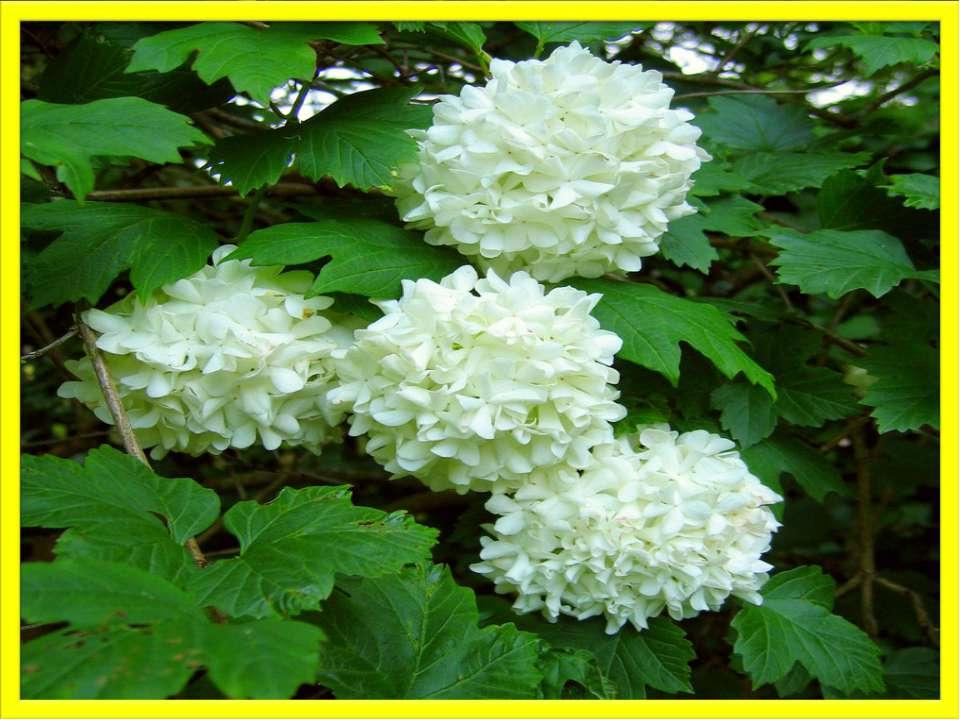 Робота з предметами, намальованими у «віночку» Калина — кущ, який цвіте білим...