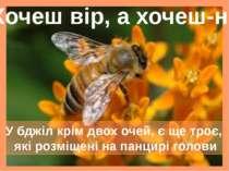 У бджіл крім двох очей, є ще троє, які розміщені на панцирі голови Хочеш вір,...