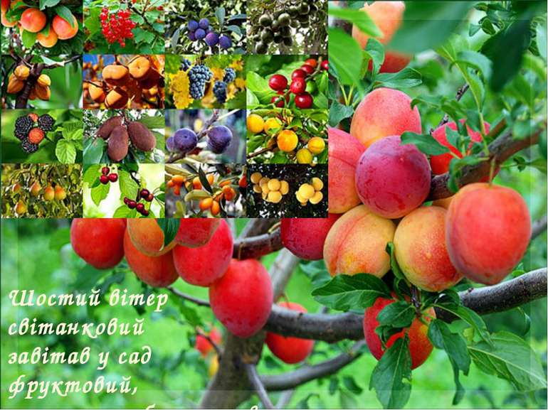 Шостий вітер світанковий завітав у сад фруктовий, ароматом яблук, слив він лю...