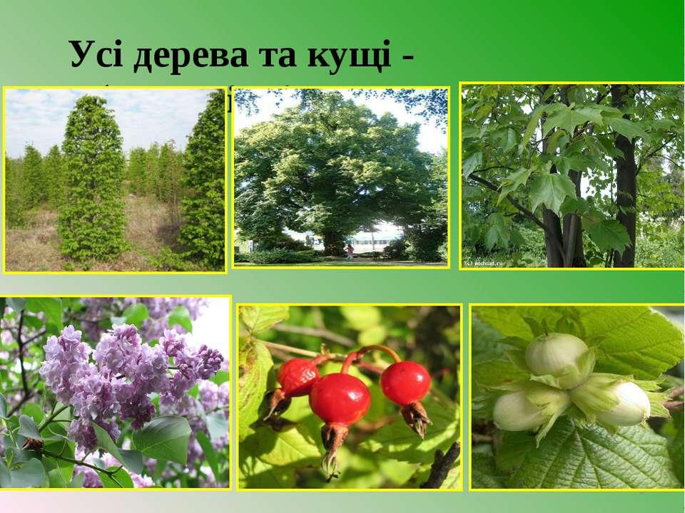 Усі дерева та кущі - багаторічні. *