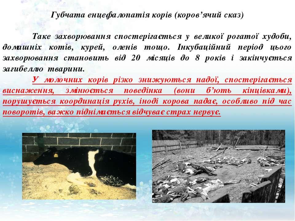 Губчата енцефалопатія корів (коров'ячий сказ) Таке захворювання спостерігаєть...
