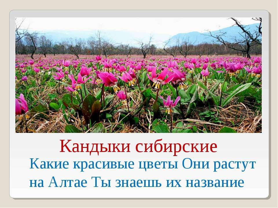 Какие красивые цветы Они растут на Алтае Ты знаешь их название Кандыки сибирские