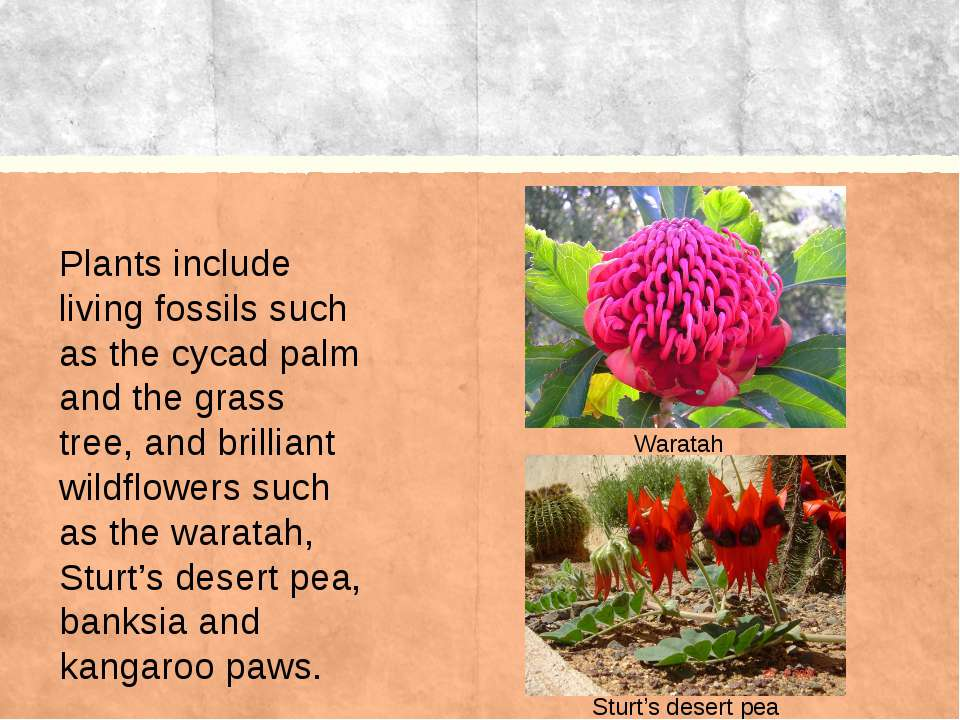 Waratah Plants include living fossils such as the cycad palm and the grass tr...