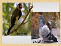 щиглик голуб