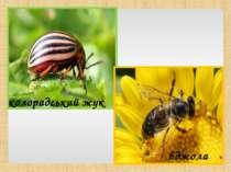 колорадський жук бджола