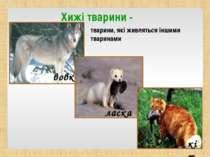 Хижі тварини - тварини, які живляться іншими тваринами вовк ласка кіт