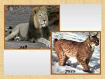лев рись