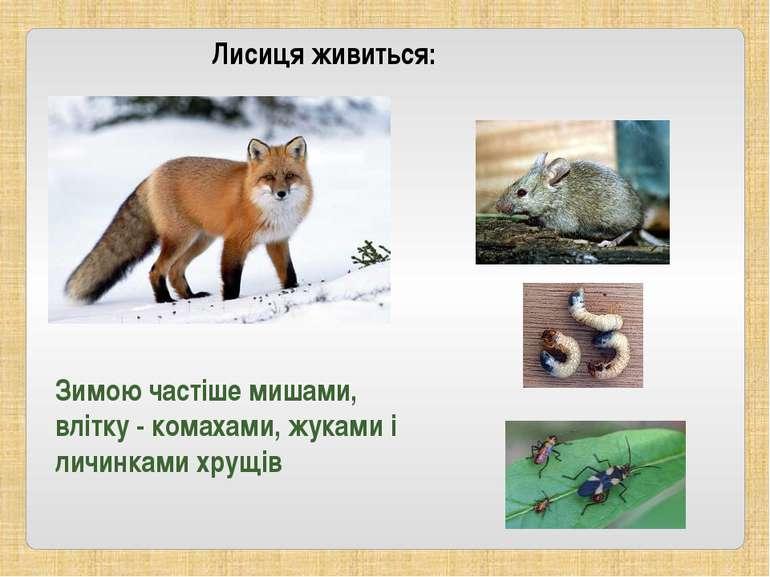 Зимою частіше мишами, влітку - комахами, жуками і личинками хрущів Лисиця жив...