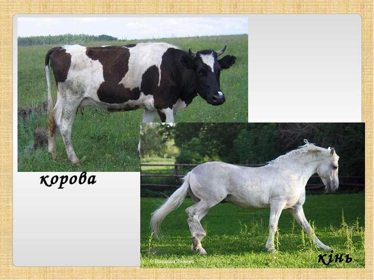 корова кінь