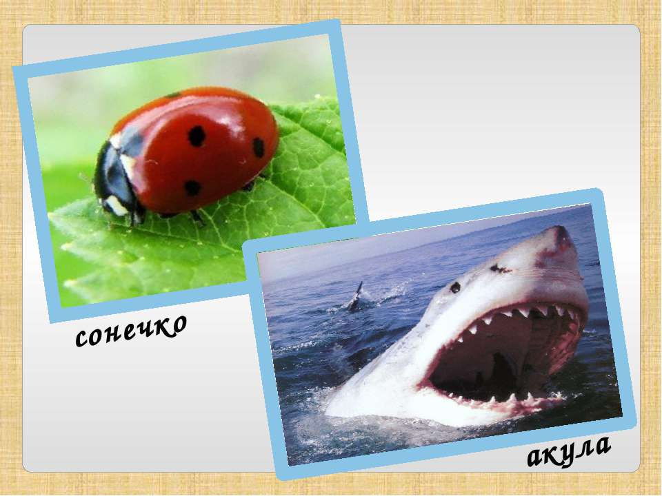 сонечко акула