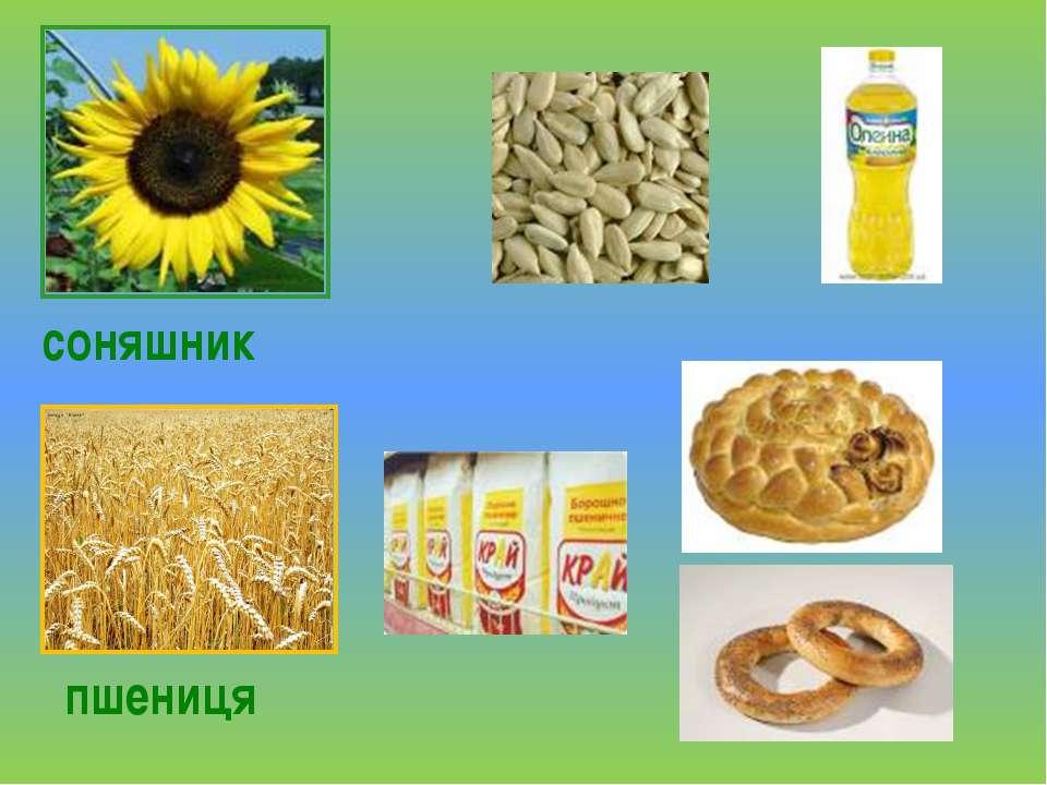 соняшник пшениця