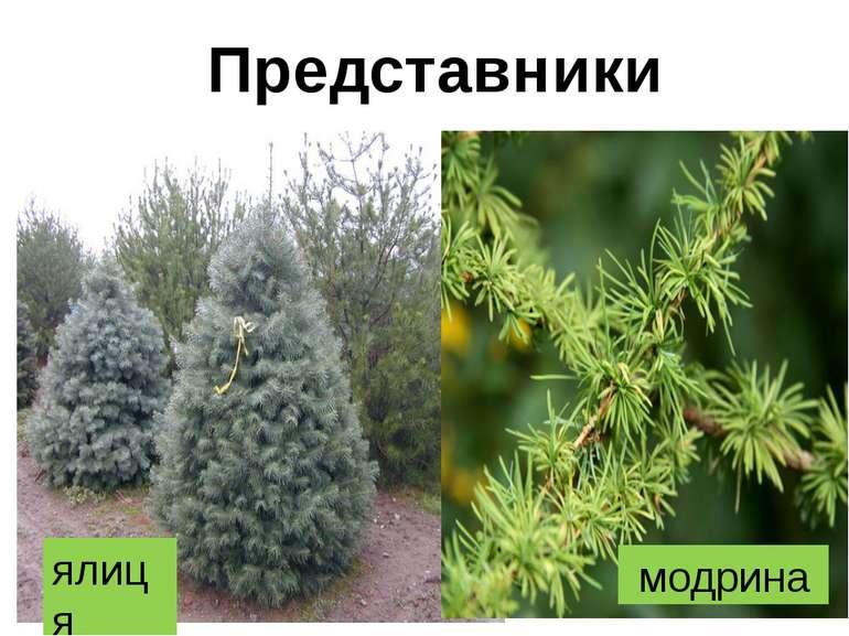 Представники ялиця модрина
