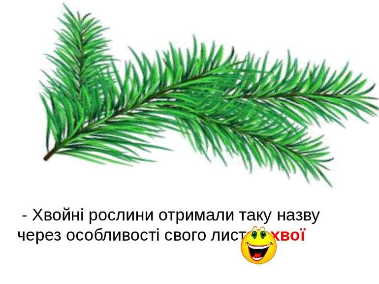 - Хвойні рослини отримали таку назву через особливості свого листя - хвої