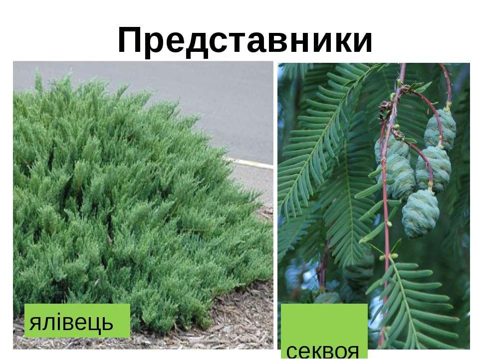 Представники ялівець секвоя