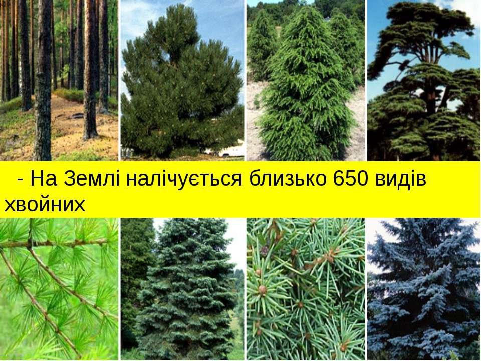 - На Землі налічується близько 650 видів хвойних