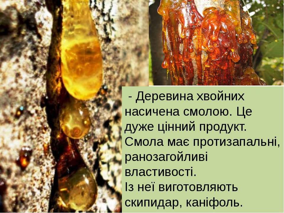 - Деревина хвойних насичена смолою. Це дуже цінний продукт. Смола має протиза...