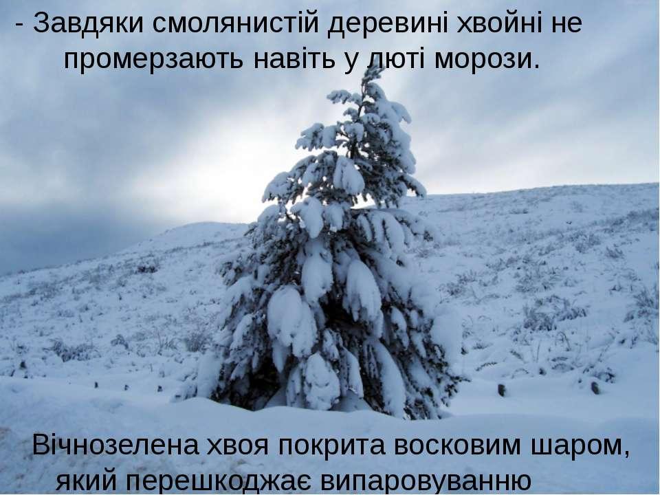 - Завдяки смолянистій деревині хвойні не промерзають навіть у люті морози. Ві...