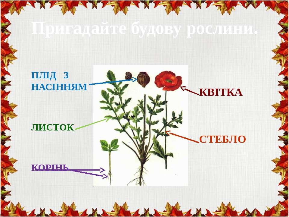 Пригадайте будову рослини. ПЛІД З НАСІННЯМ ЛИСТОК КОРІНЬ КВІТКА СТЕБЛО