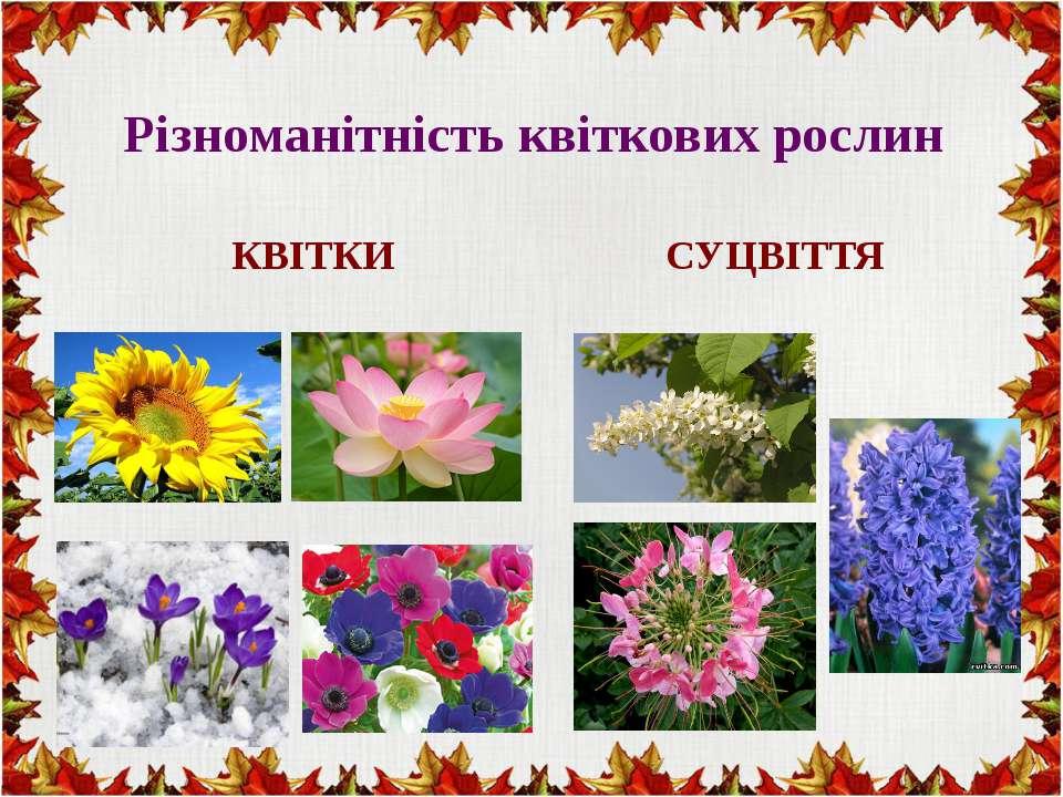 Різноманітність квіткових рослин КВІТКИ СУЦВІТТЯ