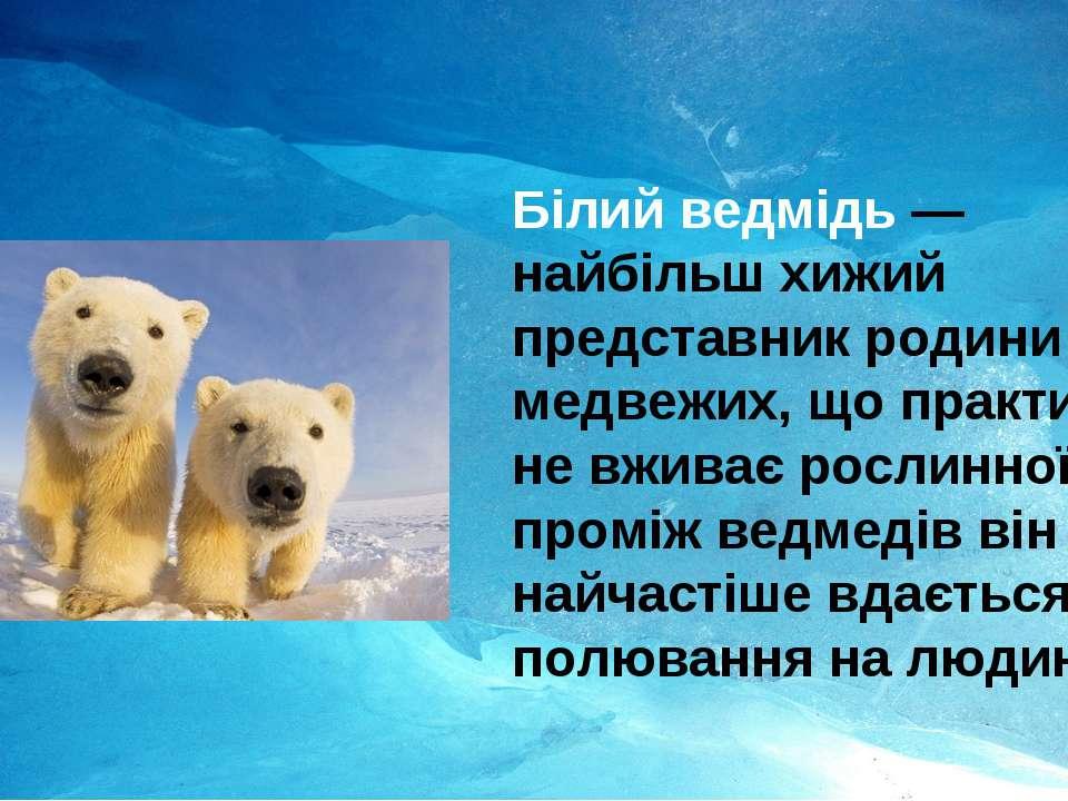 Білий ведмідь— найбільш хижий представник родини медвежих, що практично не в...
