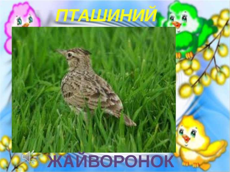ПТАШИНИЙ КОНЦЕРТ ЖАЙВОРОНОК