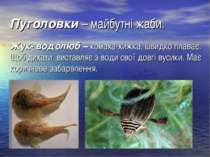 Пуголовки– майбутні жаби. Жук- водолюб –комаха-хижка, швидко плаває. Щоб ди...