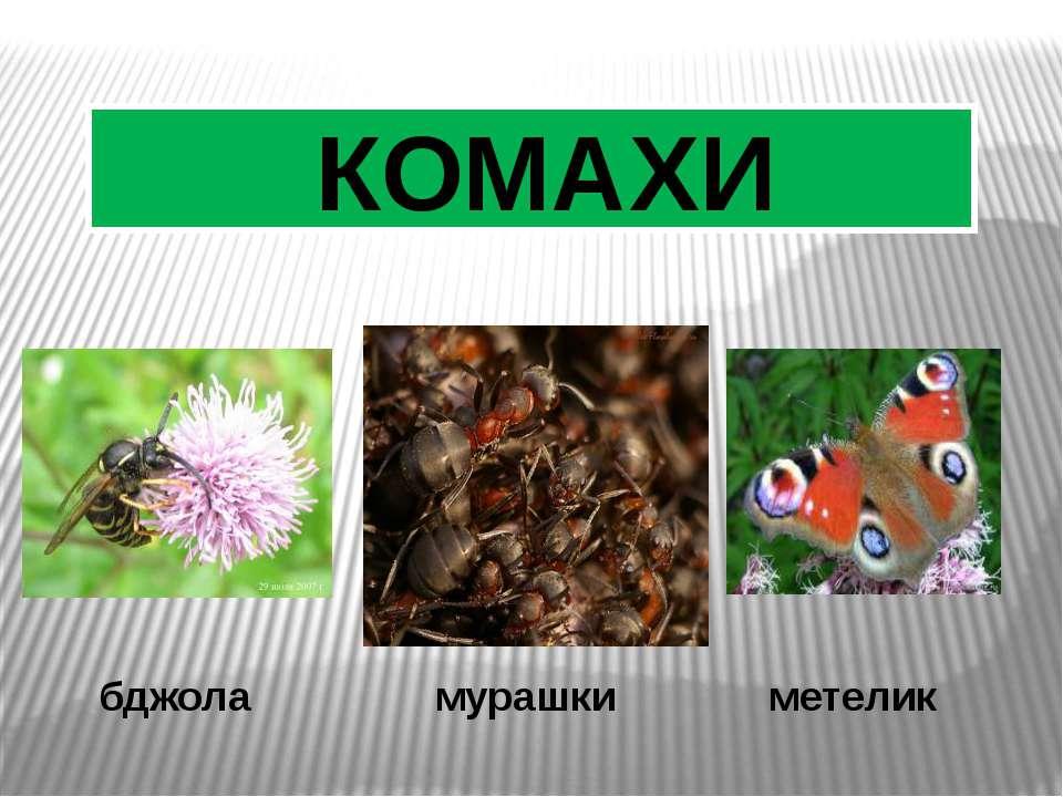 бджола мурашки метелик КОМАХИ